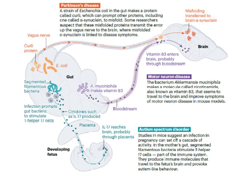 장내 마이크로바이옴, 뇌·신경 관련 질환 치료의 새로운 표적으로 가능성 제시.png